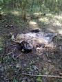 Растерзанные останки кабана